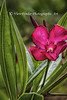 Tropical Oleander displays colorful blooms and detailed foliage.