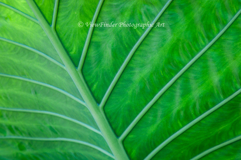 Backlighting on this large Elephant Ear leaf provides for a beautiful natural abstract featuring leading lines, repeating patterns,  texture and muted color.