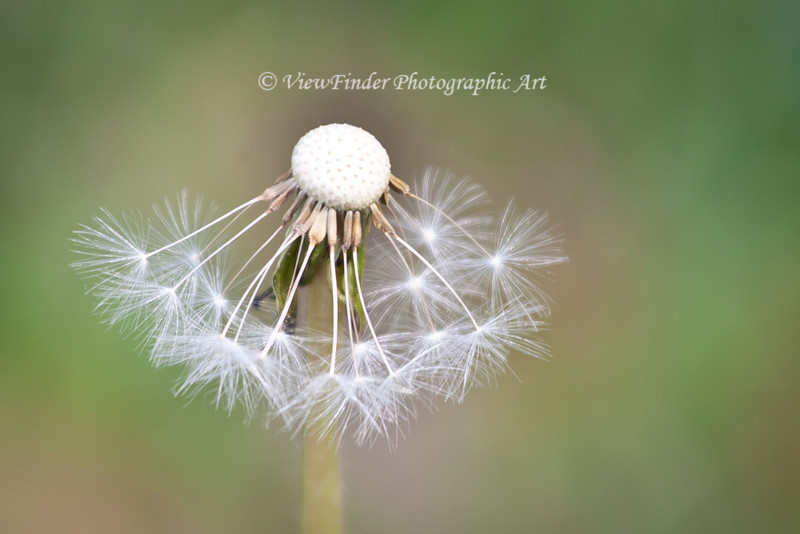 This half spent dandelion gives form to the passing of the seasons.