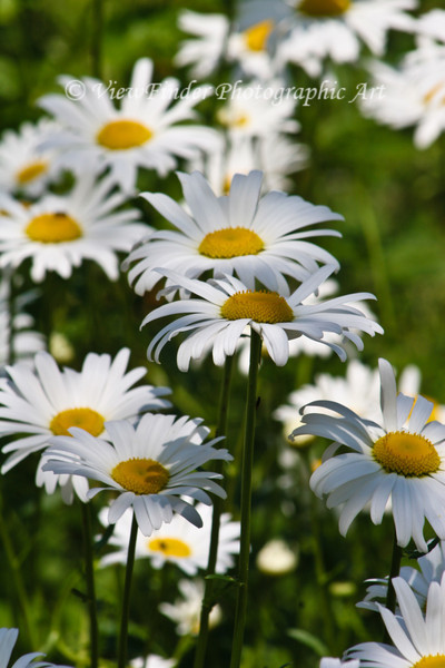 A field of daisies brightens the day like nothing manmade could ever do. field of daisies brightens the day like nothing manmade could ever accomplish.