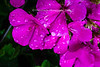 Fresh rain on Azalea Blooms  makes for an interesting study.