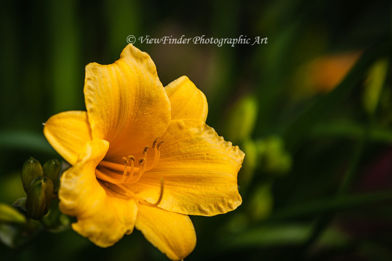 The first daylilly bloom of the year brightens the garden, and the buds promise much more to come.
