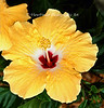 Yellow Hibiscus In Bloom
