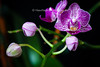 Miniture Orchid shows that beauty can come in very small packages!