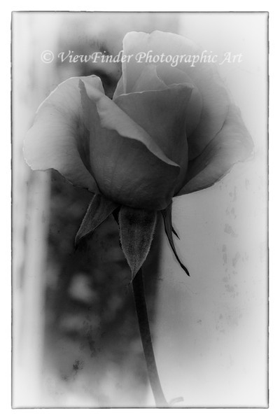 Beautiful in color, but ethereal in black and white, this rose has a timeless quality, like all things ethereal...