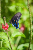 This beautiful black bodied swallowtail is black with shiny blue or green wings. It has blue between two rows of orange spots on the underside of the hind wings and the colors on the upper side of the hind wings have one row of white spots.