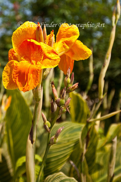 Golden Iris in Summer