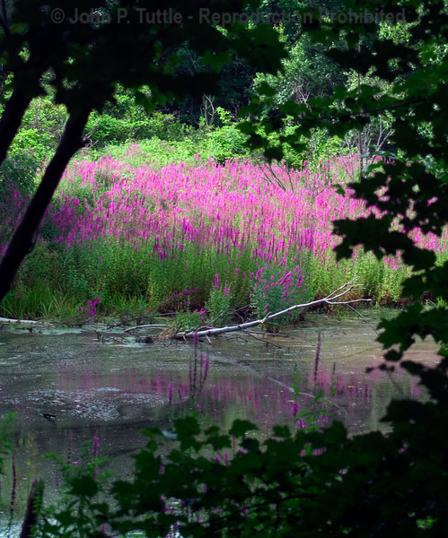 pond & swamp flower
