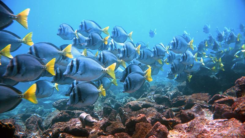 Yellow-tailed surgeonfish