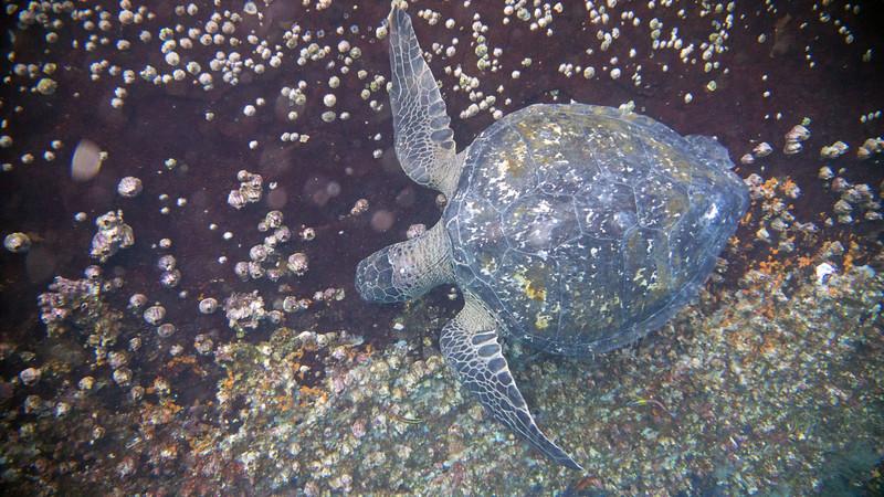 Sea turtle grazing.