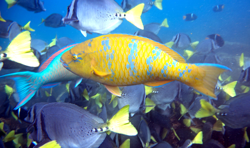 Another parrot fish