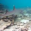 The same white-tipped reef shark