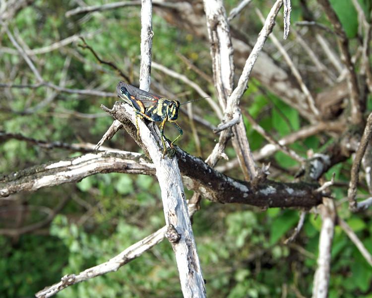 Flightless Galapagos grasshopper
