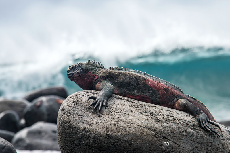 Marine iguanas are darker in color and often have red patches, particularly during breeding season.