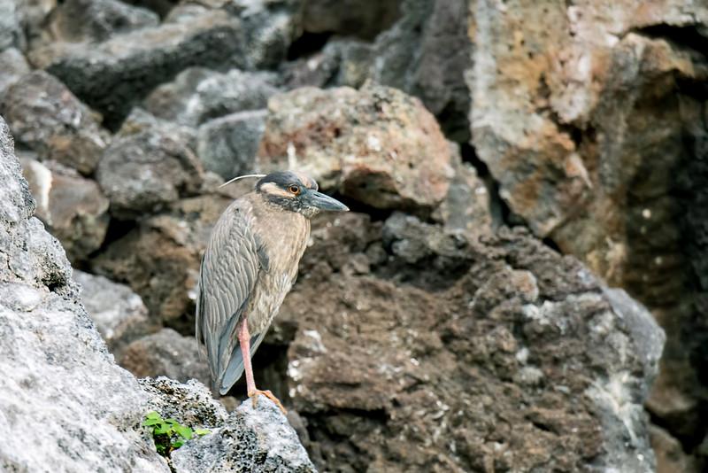 Lava heron in breeding plummage (the plume)