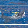 .... the shark would accelerate and go for the bait.  So interesting.  Unlike many birds and other sharks, great whites don't have protective eye membranes, so when they make a strike, they roll their entire eyeballs back into their heads.