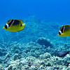 Raccon butterfly fish