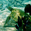 He or she went to the local turtle cleaning station and hovered as many small fish consumed algae and parasites from the turtle's body.