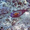 Orange-banded surgeonfish