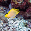 Longnose butterfly fish