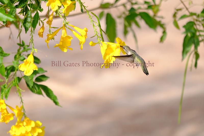 Hummingbird_DSCF3006.jpg