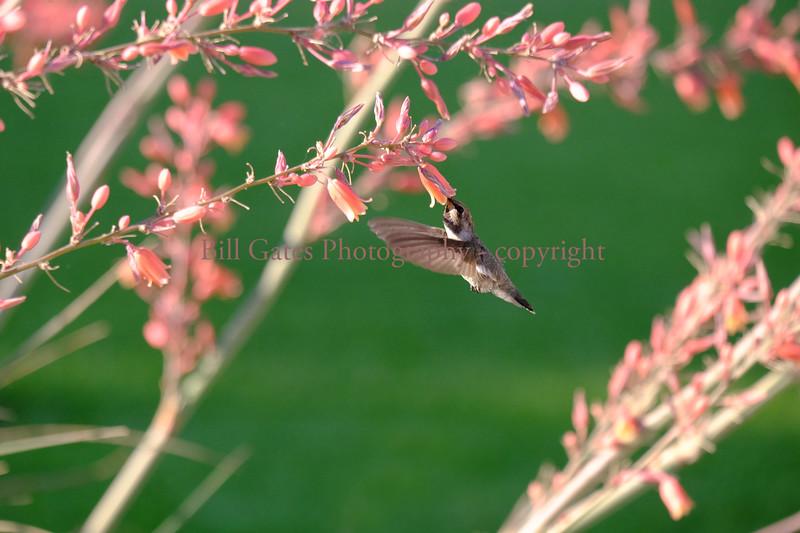 Hummingbird_3847.jpg