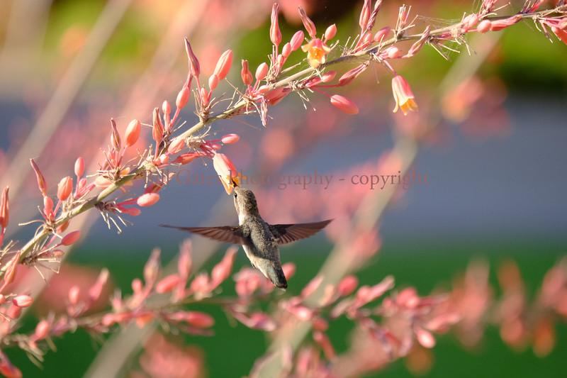 Hummingbird_3819.jpg