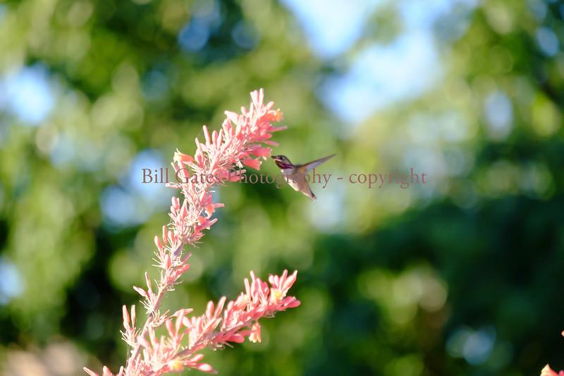 Hummingbird_DSCF3468_jpg