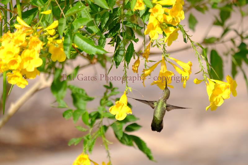 Hummingbird_DSCF3002.jpg