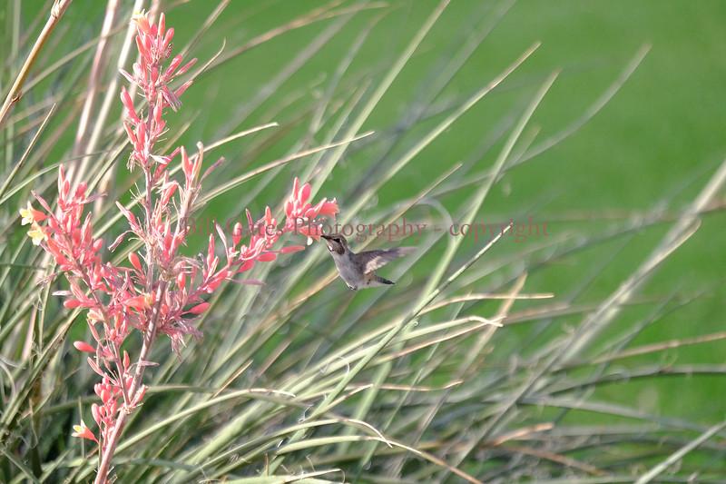 Hummingbird_DSCF05292017_1.jpg