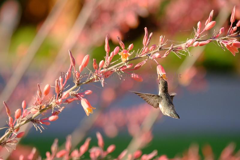Hummingbird_3823.jpg