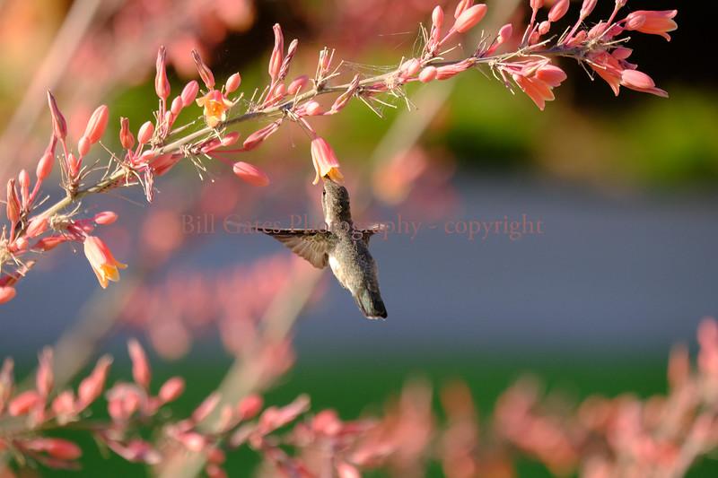 Hummingbird_3826.pm