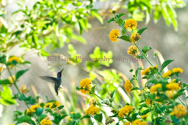 Hummingbirds of Imperial Valley