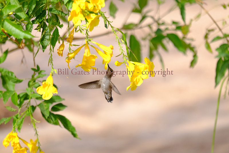 Hummingbird_DSCF3004.jpg