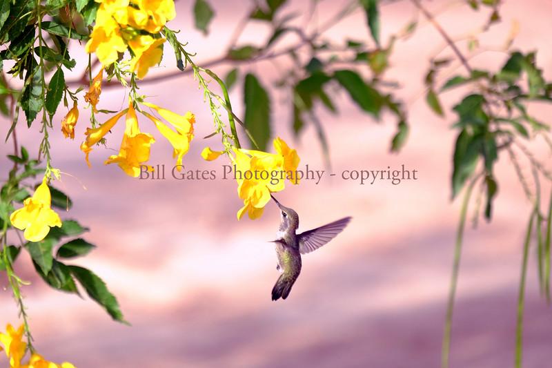 Hummingbird_DSCF3005.jpg