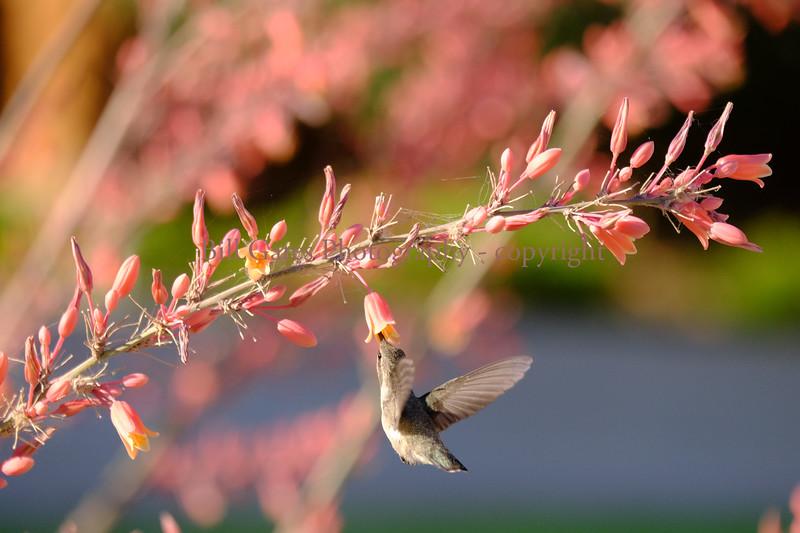 Hummingbird_3825.jpg