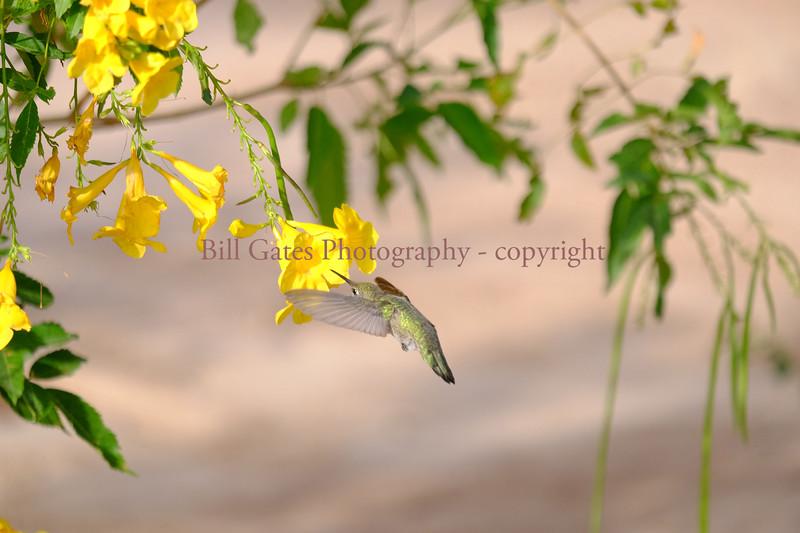 Hummingbird_DSCF3008.jpg