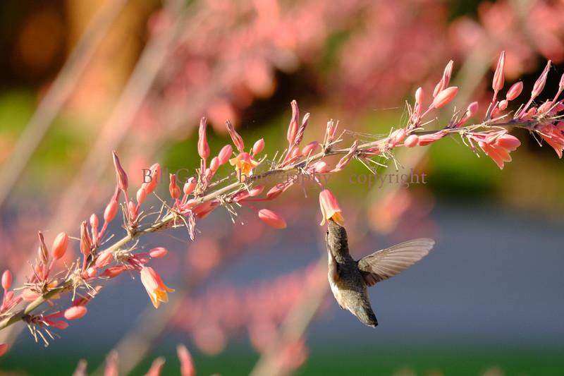 Hummingbird_3124.jpg
