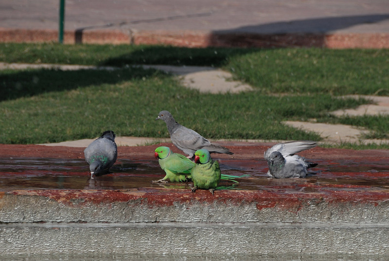 Rose-Ringed Parakeets and Rock Pigeons
