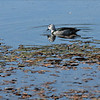Male Cotton Pygmy-Goose