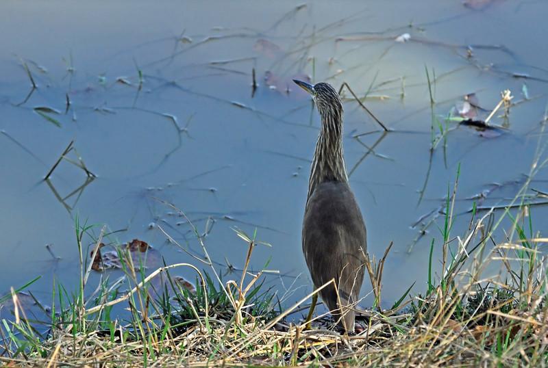 Indian Pond Heron (non-breeding)