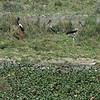 Female Blacked-Necked Stork and 2 juveniles