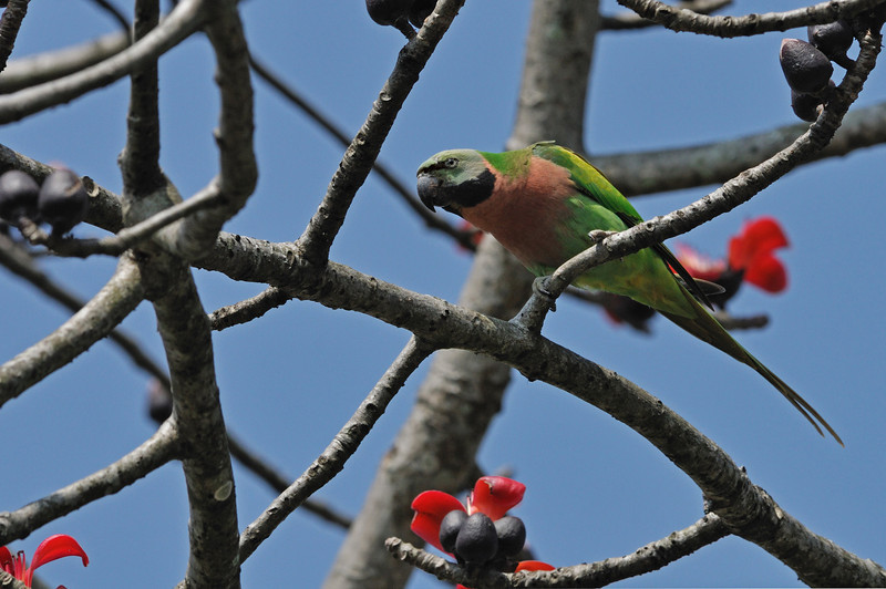 Red breasted parakeet.