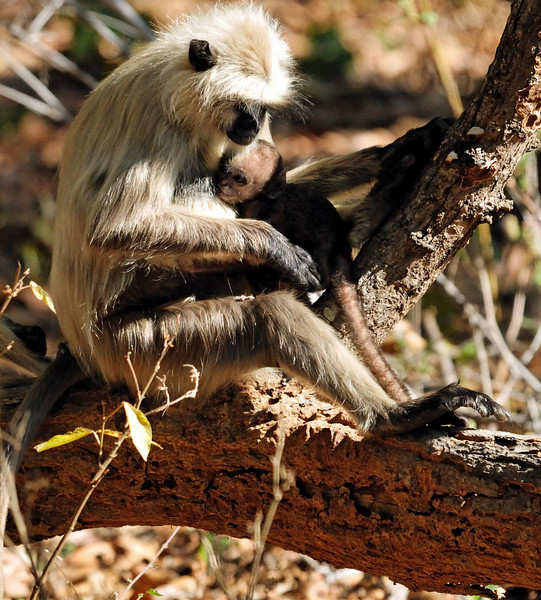 Hanuman Langur with a very young baby.
