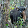 We arrived at Shergarh, our lodge just outside Kanha National Park, at dinnertime.  Early the next morning we entered the park and within minutes, we spotted a herd of Gaur (Indian bison).