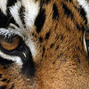 The eyes of the tiger....