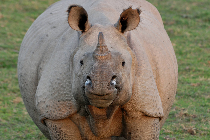 This is one of the few rhinos we saw with a full horn.  Most of them have had their horns filed down to protect them from poachers.  Poachers kill these animals, take only the horn, and leave the rest.  Very, very sad.