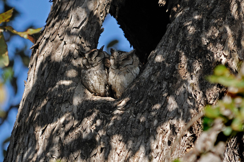 Collared Scops owls.