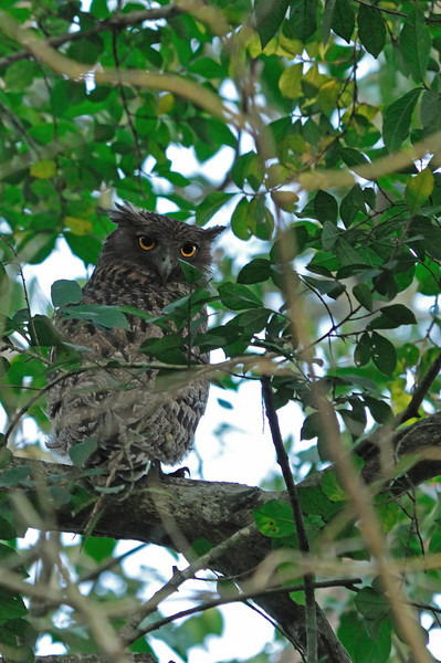 Brown fish owl.  This was a very large bird.