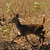 Spotted deer fawn.